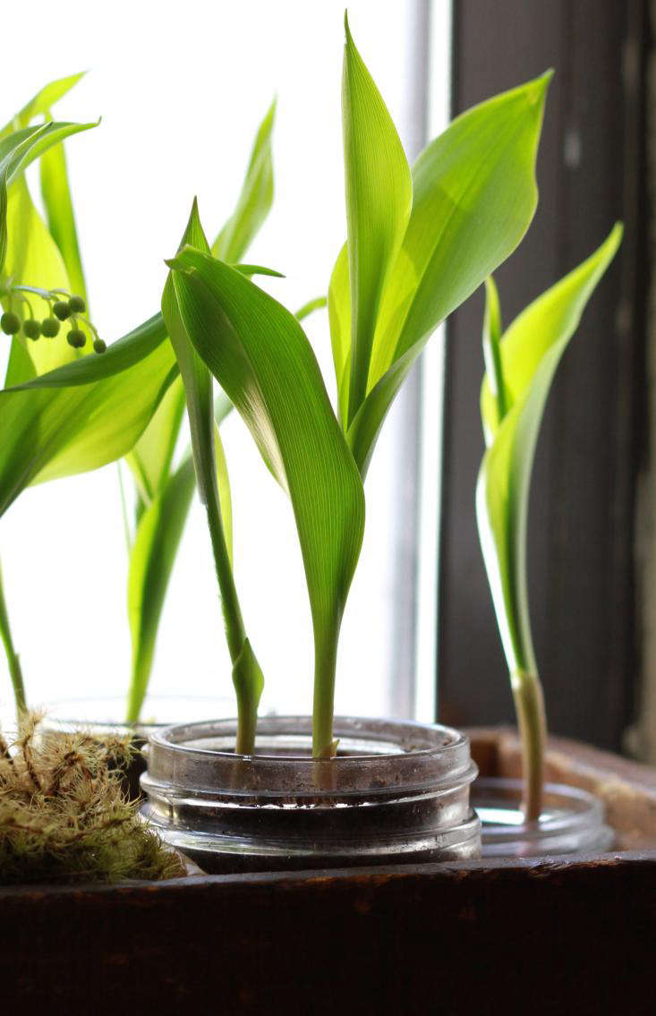 Diy grow lily of the valley on a windowsill remodelista izmirmasajfo