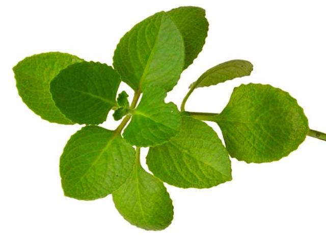 Resultado de imagen para oregano herb