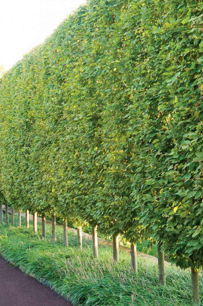 Above In Villanova Pennsylvania Designer John Shandra Of Gale Nurseries Created An Avenue Sheared European Hornbeams Image Via Garden Design