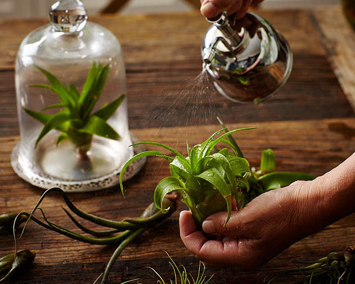Air plants, decoded, in Things Nobody Tells You About Air Plants. Photograph by John Merkl.